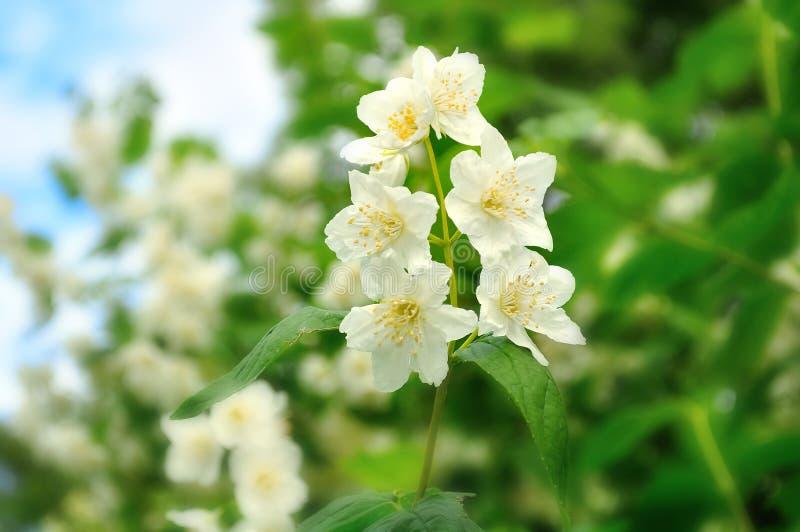 Bloeiende jasmijn (Jasminum-polyanthum) royalty-vrije stock foto