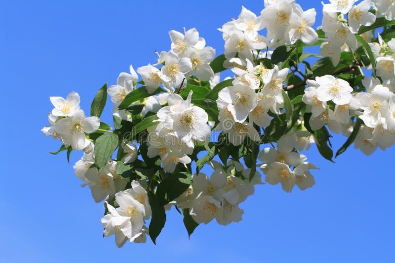 Bloeiende jasmijnclose-up tegen een blauwe hemel royalty-vrije stock foto