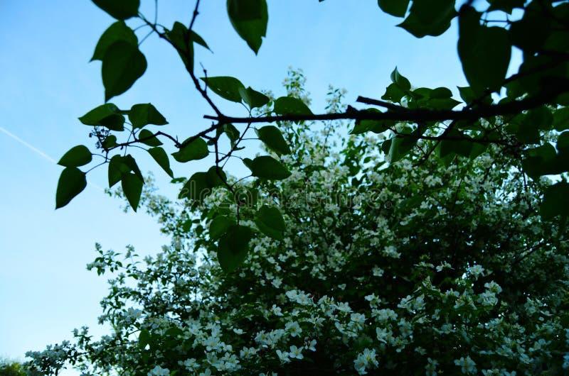 Bloeiende jasmijnstruik tegen de heldere hemel stock afbeelding