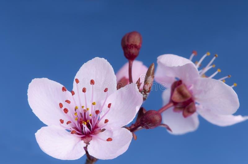 Bloeiende kers (Prunus SP) in de lente. stock afbeelding