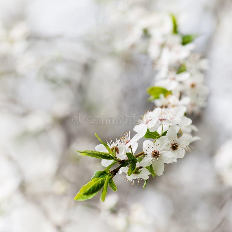 Bloeiende kersenboom royalty-vrije stock afbeelding