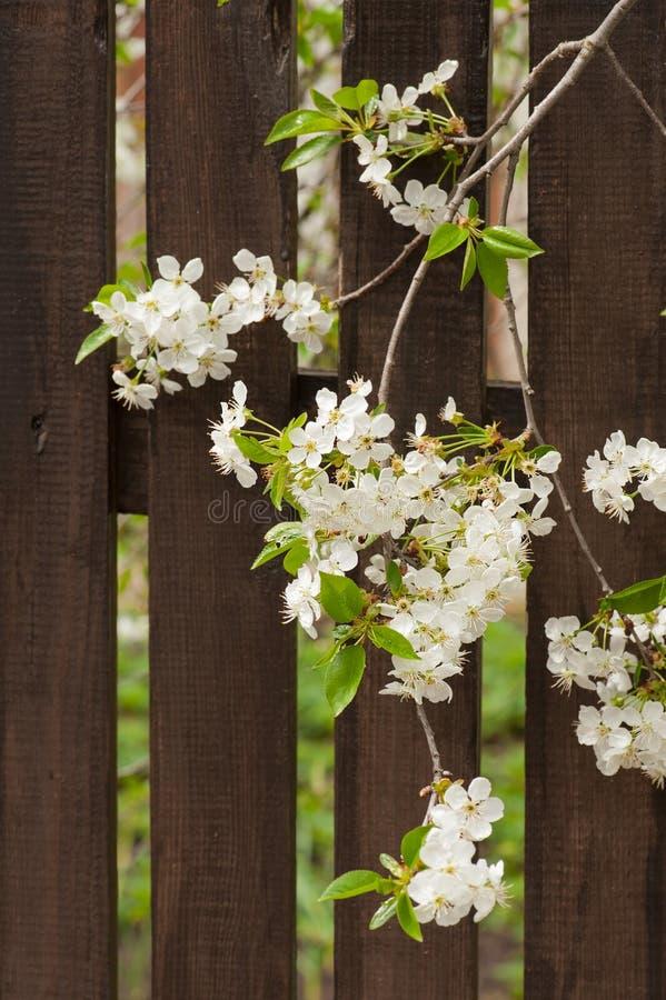 Bloeiende kersenboom royalty-vrije stock afbeeldingen
