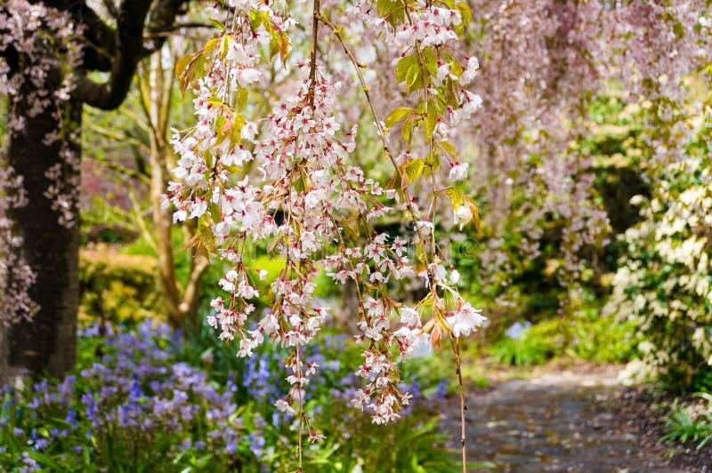 Bloeiende kersenboom Achtergrond van de Sakura de bloeiende aard royalty-vrije stock foto's
