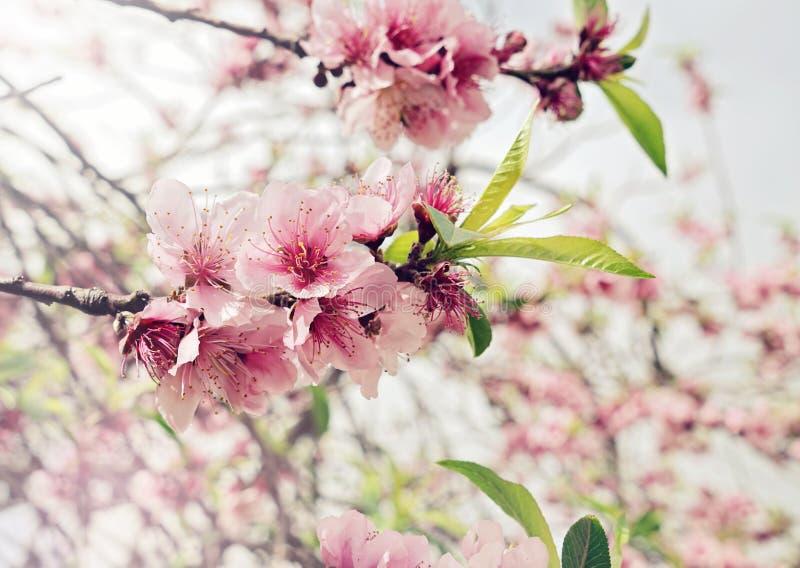 Bloeiende kersentak met roze knoppen en bloemen stock afbeeldingen