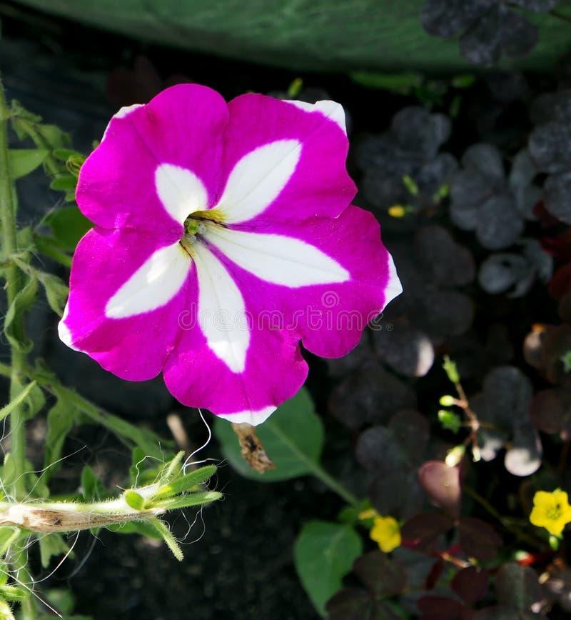 Bloeiende kleurrijke petunia in de tuin royalty-vrije stock afbeeldingen