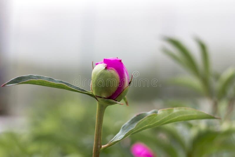 Bloeiende knop van roze pioen in de de zomertuin stock foto's