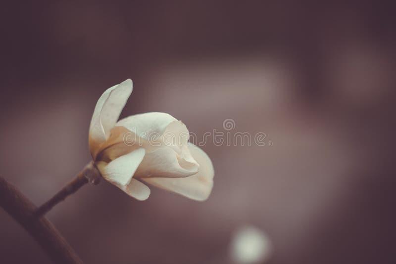 Bloeiende knop witte magnolia op een close-up van de boomtak op een vage achtergrond Macro stock afbeeldingen