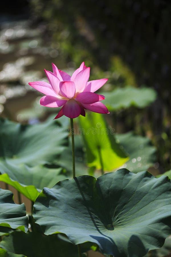 Bloeiende lotusbloem royalty-vrije stock foto's