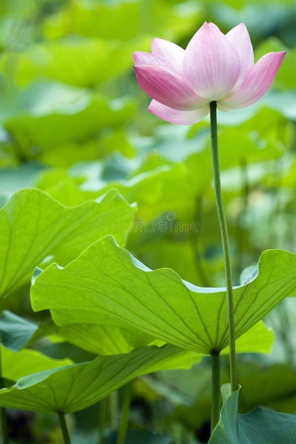 Bloeiende lotusbloem royalty-vrije stock fotografie