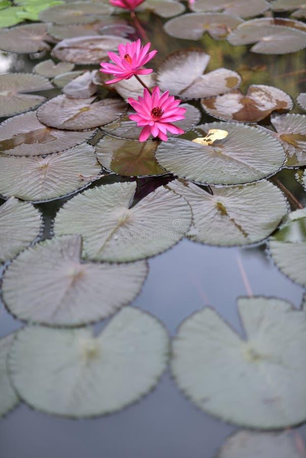 Download Bloeiende Lotusbloem Die Op Het Het Lotusbloemblad En Water Drijven Die De Verlichting Vertegenwoordigen Stock Foto - Afbeelding bestaande uit aquatisch, floating: 107708388