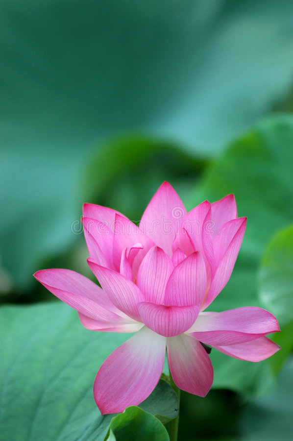 Bloeiende lotusbloembloem royalty-vrije stock fotografie