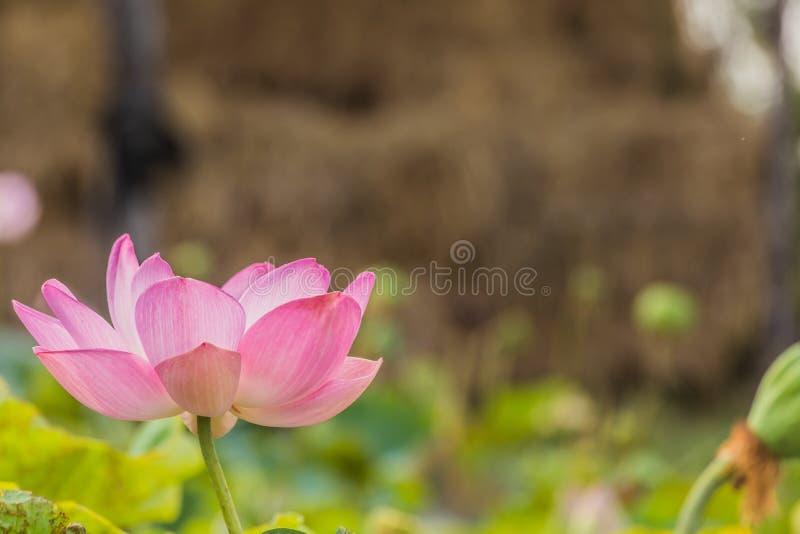Bloeiende lotusbloembloem over groene achtergrond stock fotografie