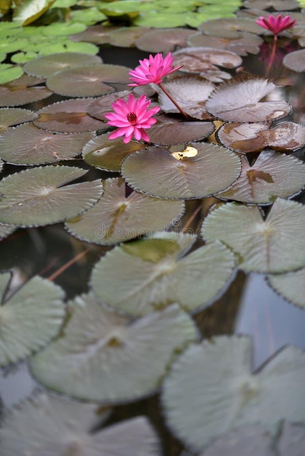 Download Bloeiende Lotusbloembloemen Die Op De Vijver Drijven Stock Foto - Afbeelding bestaande uit hinduism, achtergrond: 107708598