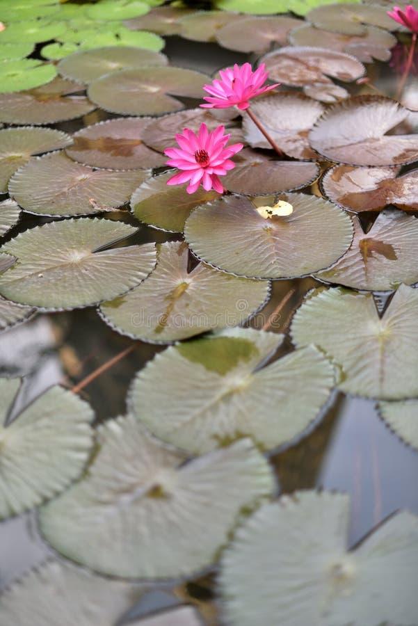 Download Bloeiende Lotusbloembloemen Die Op De Vijver Drijven Stock Foto - Afbeelding bestaande uit bloesem, floating: 107708788