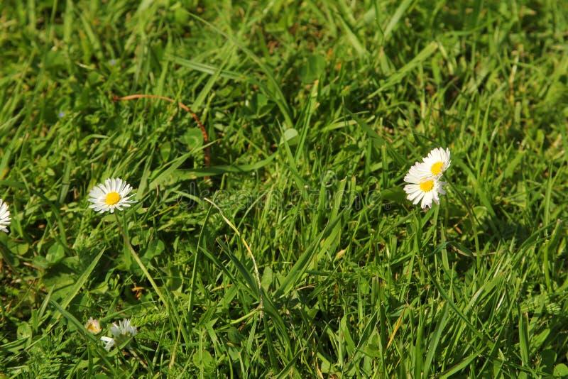 Bloeiende madeliefjes in het gras royalty-vrije stock foto