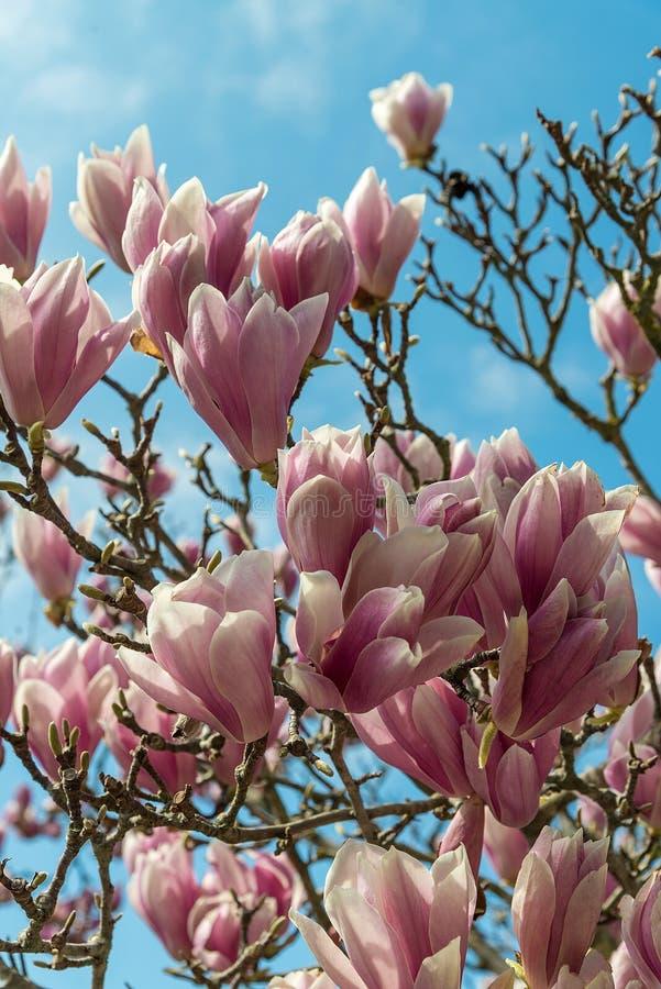 Bloeiende magnolia's in Rusland De stad van Sotchi Het park van het Adlerdistrict van zuidelijke culturen royalty-vrije stock foto's