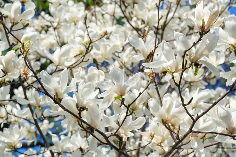 Bloeiende Magnolia'sbomen in de Lentetuin royalty-vrije stock afbeelding