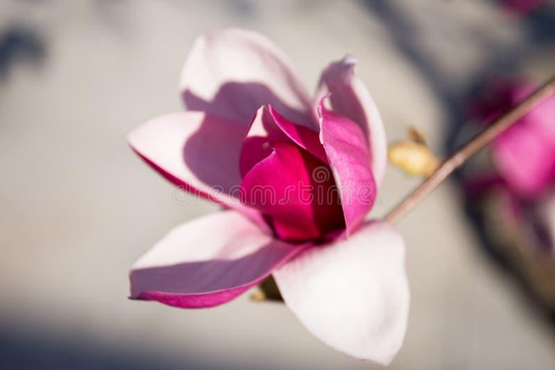 Bloeiende magnoliabloemen in springï¼ magnolia ŒPurple stock fotografie