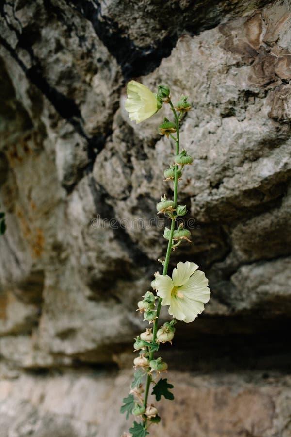 Bloeiende malve Mooie bloemen van gele malve op de achtergrond van rotsen stock fotografie