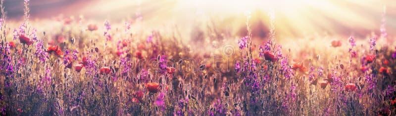 Bloeiende papaverbloem - mooie papaverbloem en purpere bloem in weide royalty-vrije stock fotografie