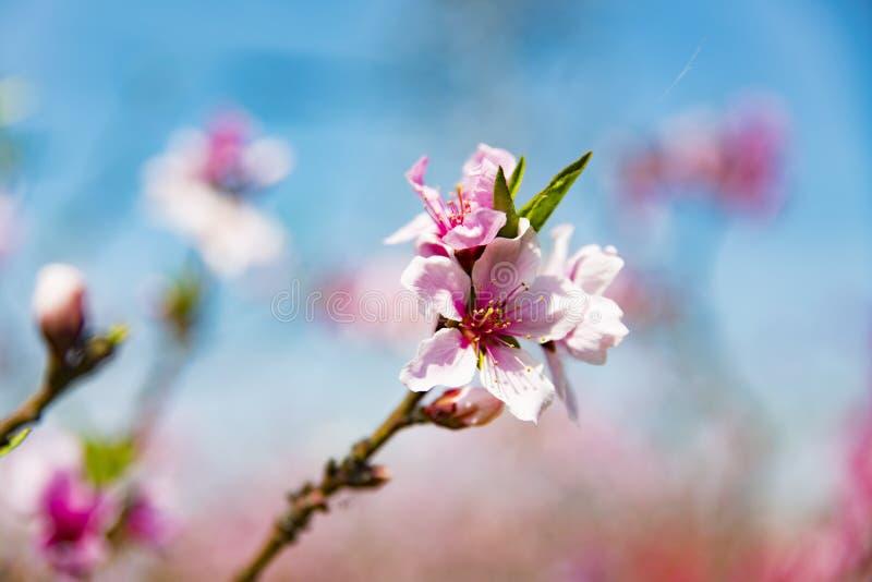 Bloeiende perzikbloesems in de lente royalty-vrije stock foto