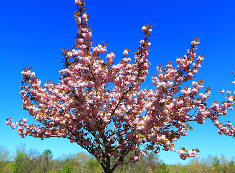 Bloeiende perzikboom stock foto's