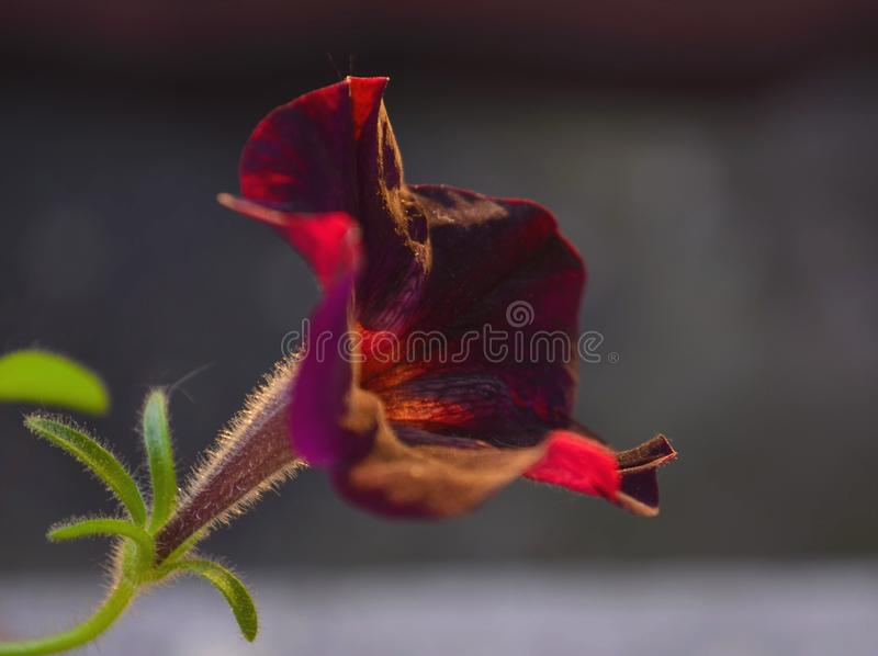 Bloeiende Petuniabloemen royalty-vrije stock foto