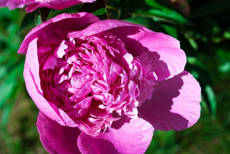 Bloeiende pioenen in een bloembed royalty-vrije stock afbeeldingen