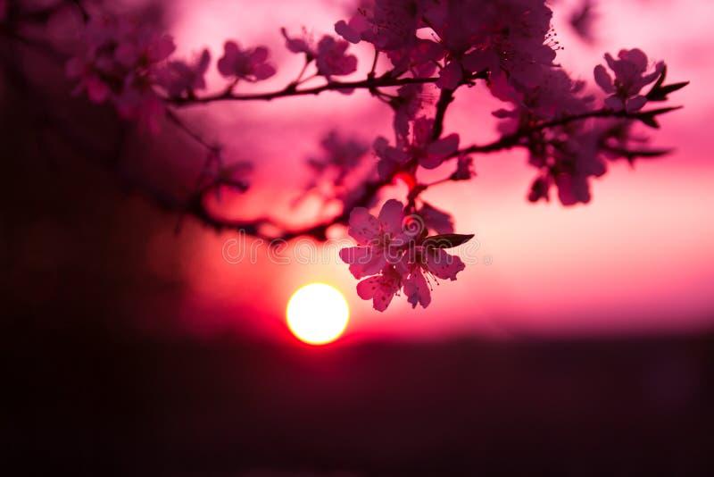 Bloeiende pruimboom stock foto
