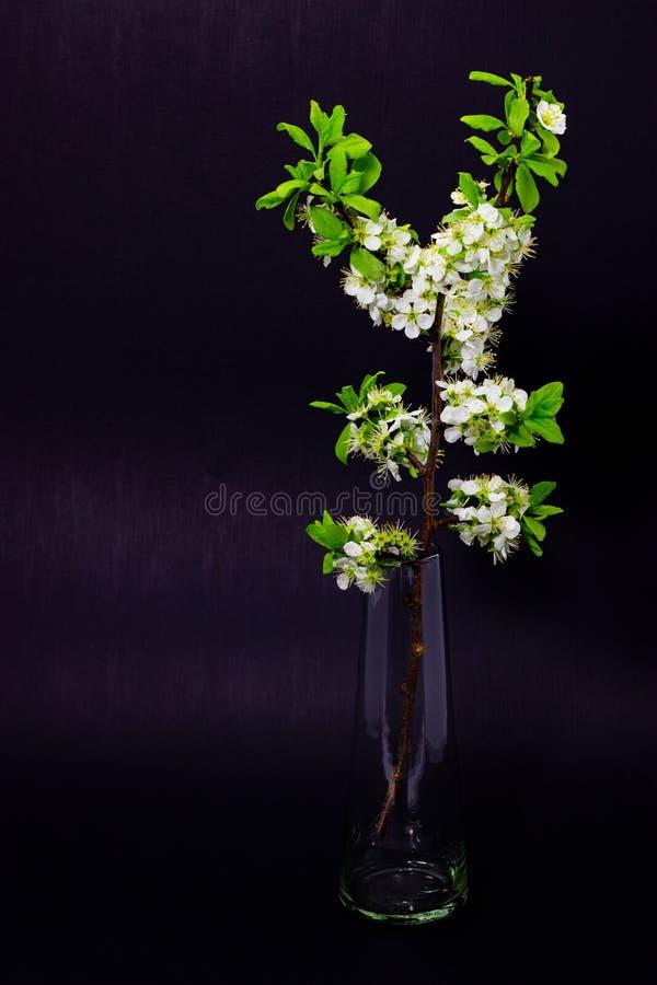 Bloeiende pruimtakken op het donkere achtergrond de lente bloeien van fruitbomen stock foto's
