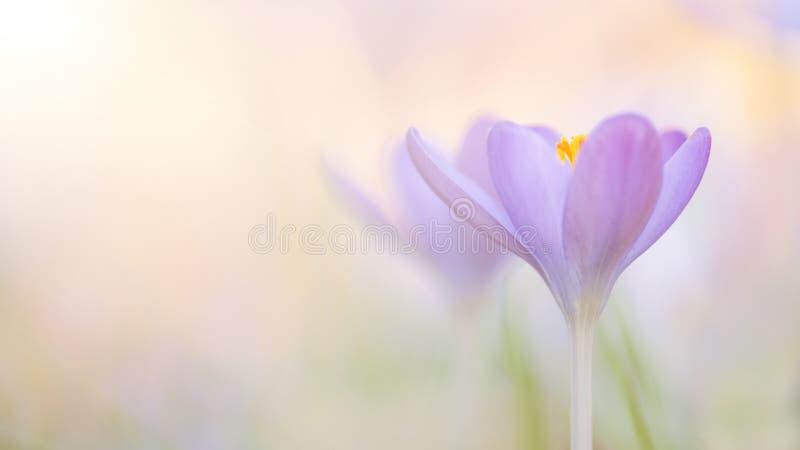 Bloeiende purpere krokusbloemen in een zacht nadruk panoramisch beeld stock afbeelding