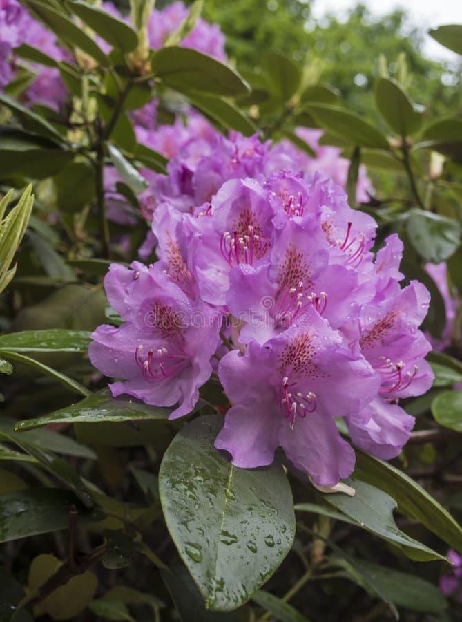 Bloeiende purpere rododendron royalty-vrije stock afbeeldingen