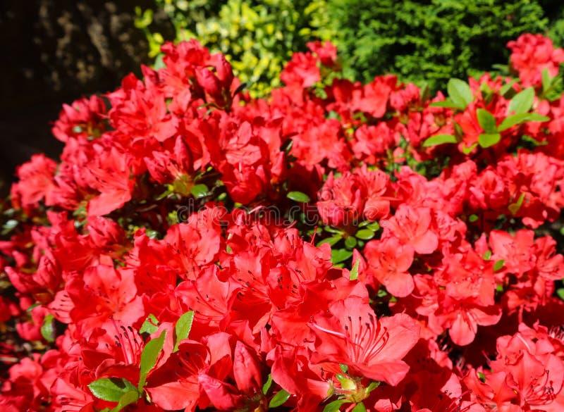 Bloeiende rode azaleabloemen in de lentetuin Het tuinieren concept Bloemen achtergrond stock foto