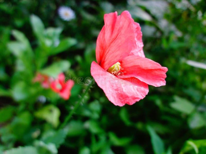 Bloeiende rode papaver op een groene achtergrond stock fotografie