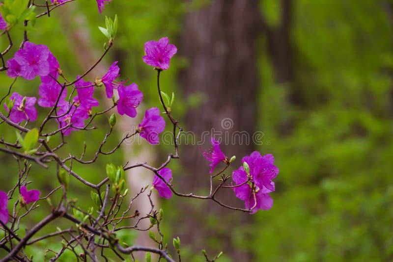 Bloeiende rododendron daur stock foto