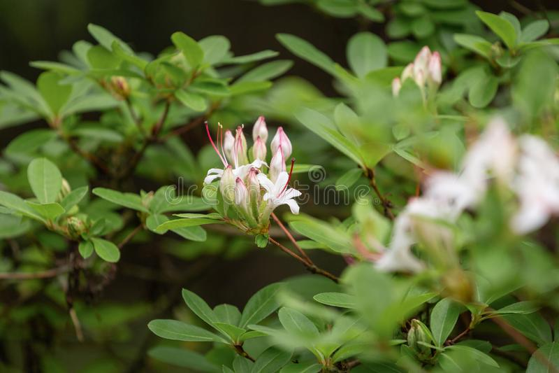 Bloeiende Rododendron Landschapsontwerp en het Tuinieren bloei in de de zomertuin stock fotografie