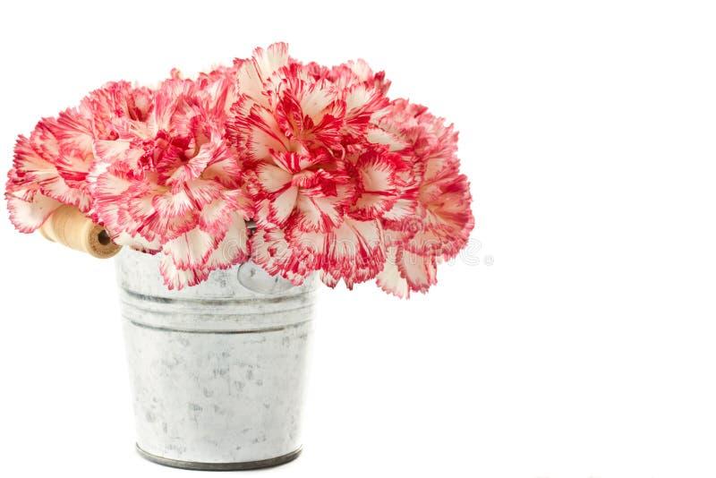 Bloeiende roze anjer royalty-vrije stock foto