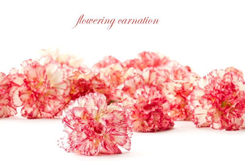 Bloeiende roze anjer royalty-vrije stock afbeelding