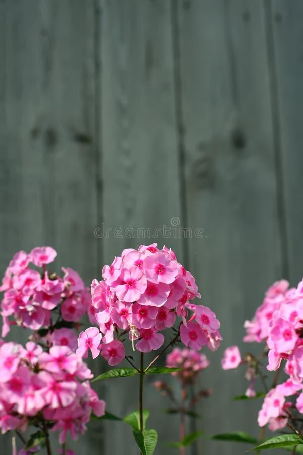 Bloeiende roze flox op een houten achtergrond royalty-vrije stock foto