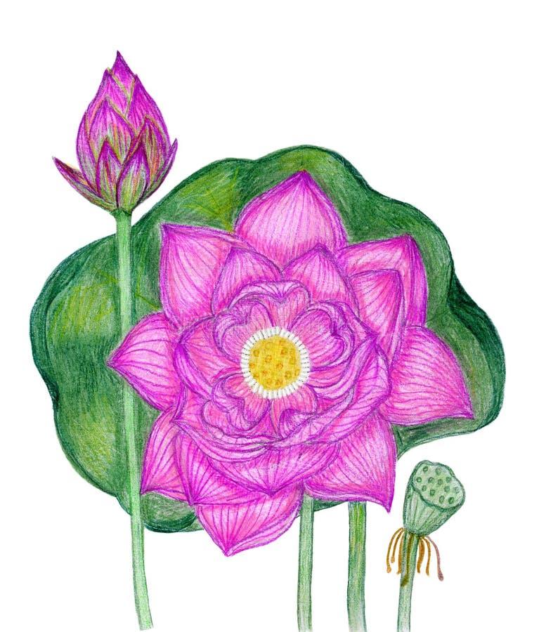 Bloeiende roze lotusbloem royalty-vrije stock afbeelding