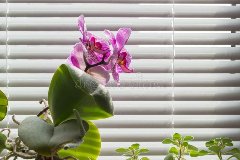 Bloeiende roze phalaenopsisorchidee op achtergrond van venster met royalty-vrije stock afbeeldingen