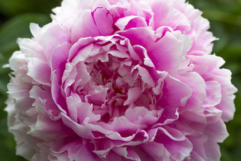 Bloeiende roze pioen in de de zomertuin royalty-vrije stock fotografie