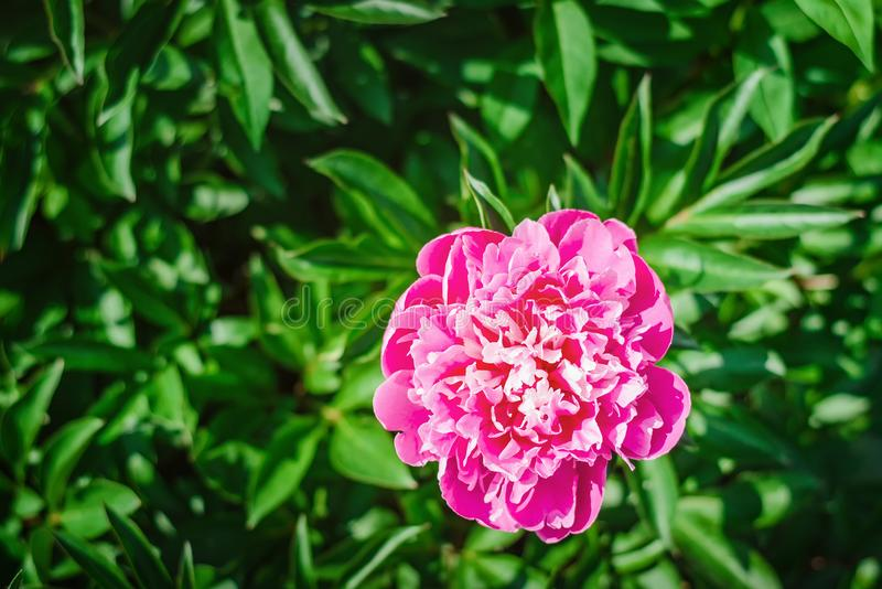 Bloeiende roze pioenbloem in de tuin royalty-vrije stock foto