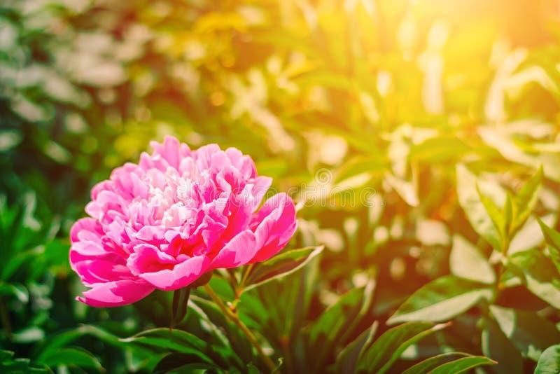 Bloeiende roze pioenbloem in de tuin stock foto's