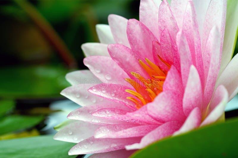 Bloeiende Roze Waterlily-Bloem met Regendruppels stock foto