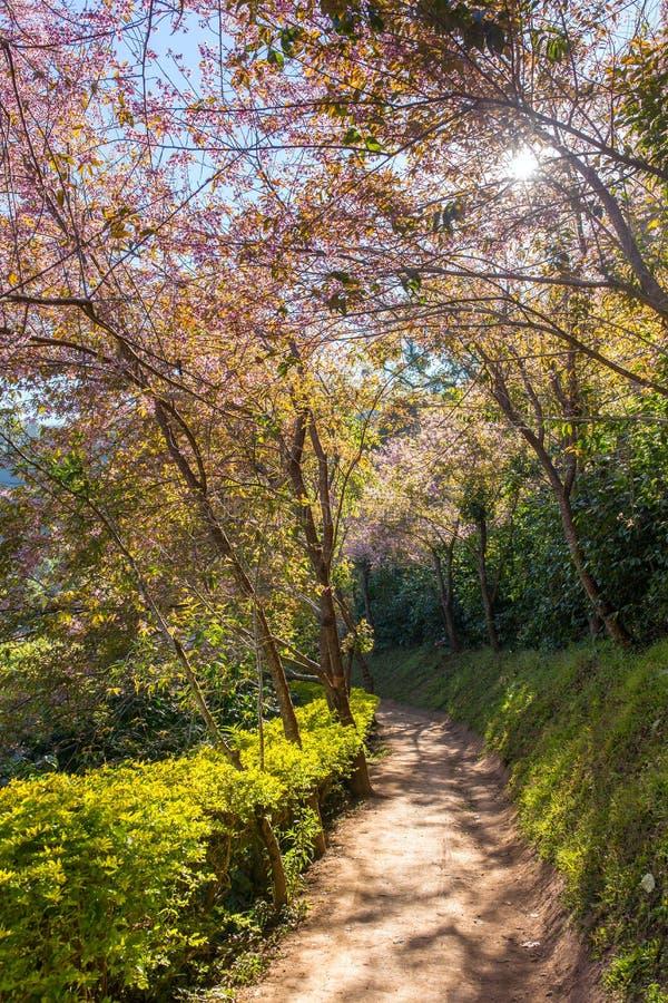 Bloeiende sakuraboom langs de mooie kleine weg dichtbij Chiang Mai royalty-vrije stock afbeeldingen