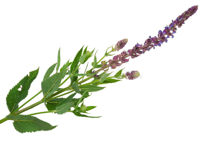 Bloeiende salie (Salvia-officinalis) stock afbeelding