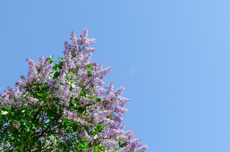 Bloeiende sering tegen de blauwe hemel Het wekken van aard Het concept van de lente De ruimte van het exemplaar royalty-vrije stock foto's