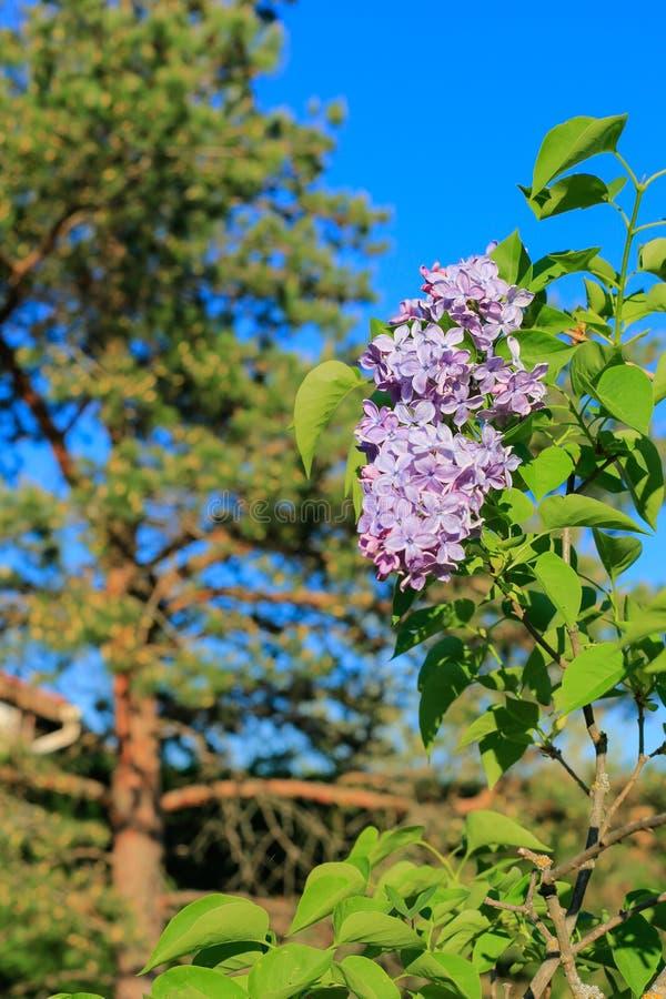 Bloeiende seringentak, pijnboom en blauwe hemel in de lente Violette bloemen van lilac lente in tuin stock afbeeldingen