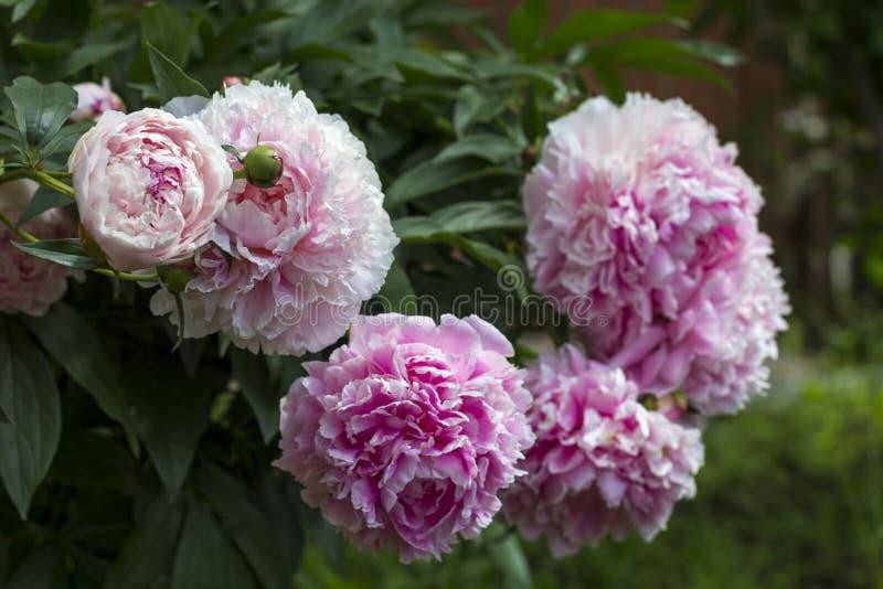Bloeiende struik roze peonyies in de de zomertuin royalty-vrije stock foto